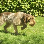 chiens-Griffon-d-arret-a-poil-dur-Korthals-2c93254f-3d60-16f4-5972-abe11b5e6587